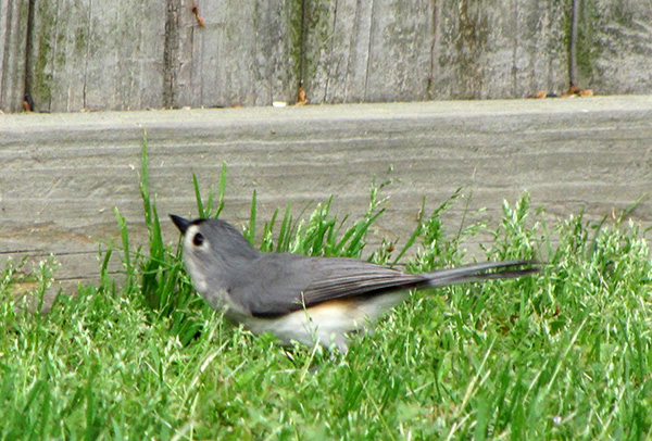 Tufted Titmouse April 19