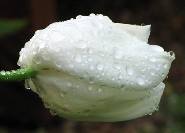 Tulip April 29