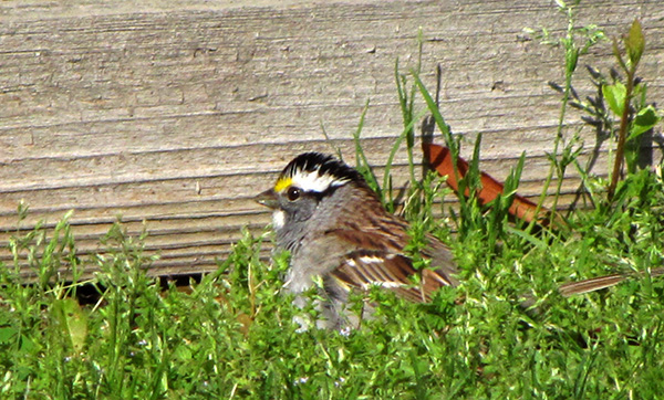 White Throated Sparrow April 23