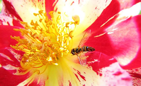 Hoverfly May 15