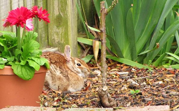 Rabbit May 1