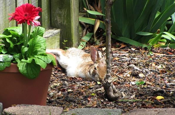 Rabbit May 2