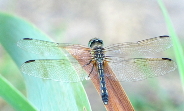 Blue Dasher June 28