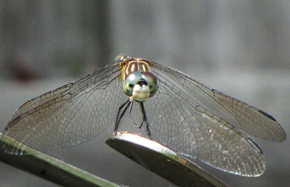 Blue Dasher June 29