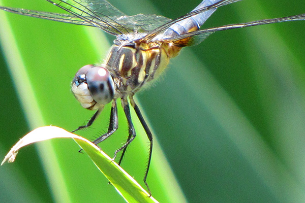 Blue Dasher Male June 27
