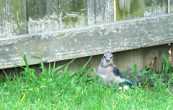 Blue Jays June 11