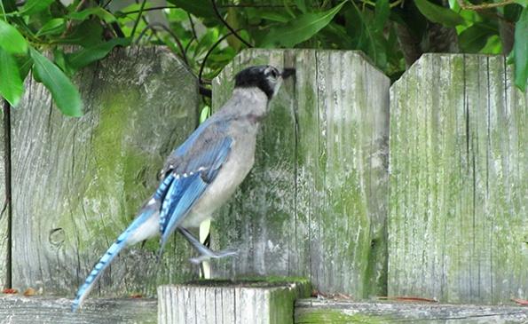 Blue Jays June 11