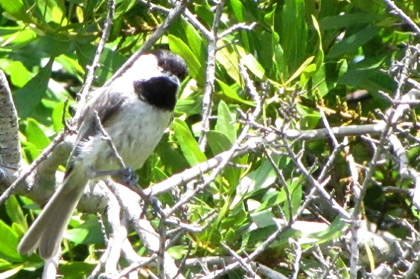 Chickadee May 31