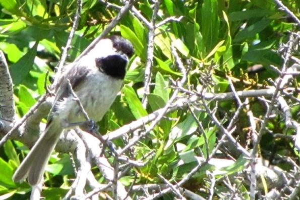Chickadee May 31