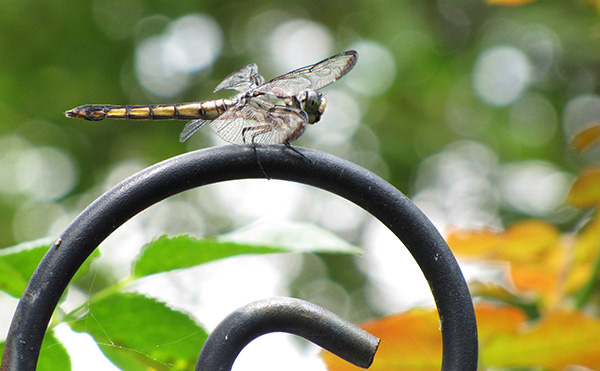 Dragonfly June 27