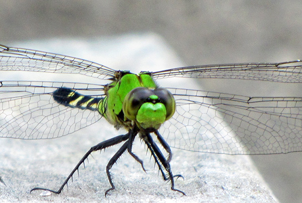 Eastern Pondhawk June 29