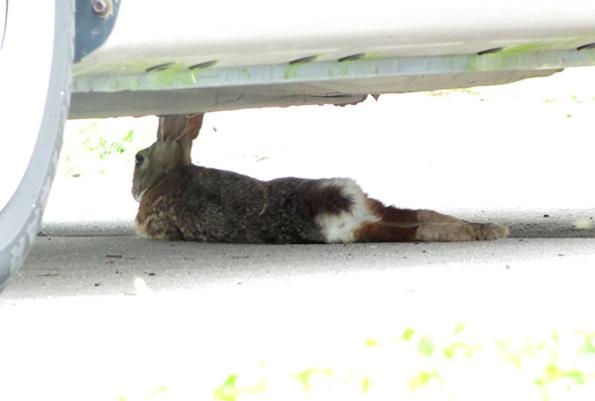 Rabbit May 21