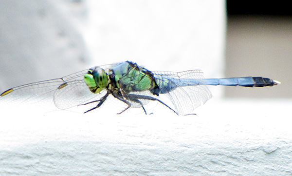 Dragonfly July 8