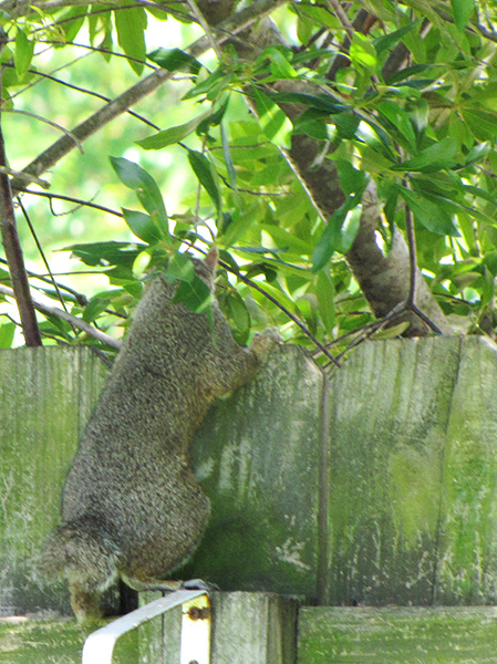 Squirrel July 7