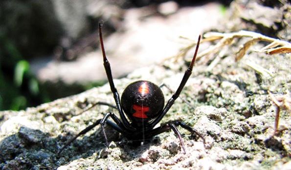 Black Widow Aug 14