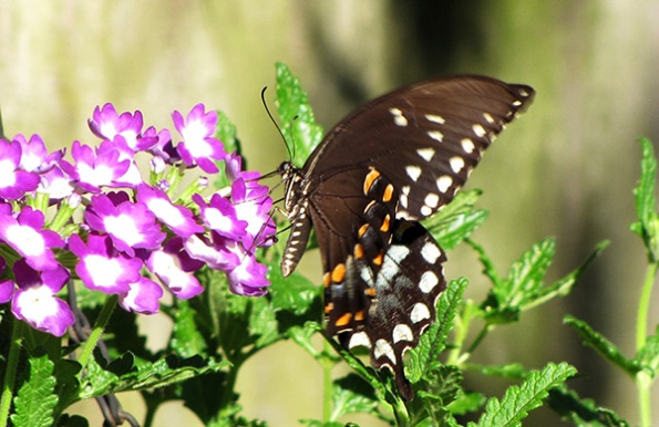 Butterfly August 4