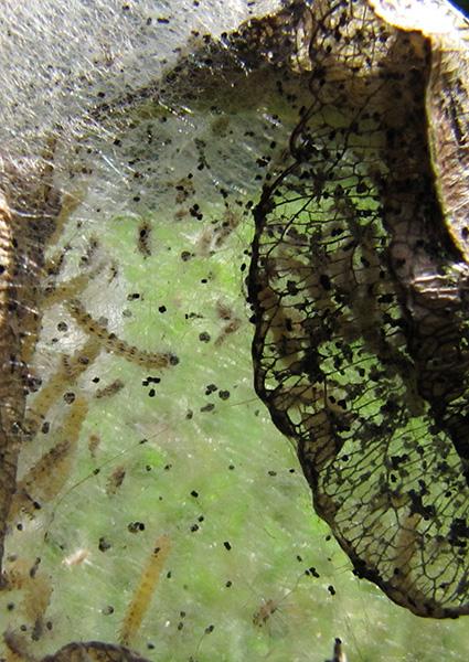 Caterpillars August