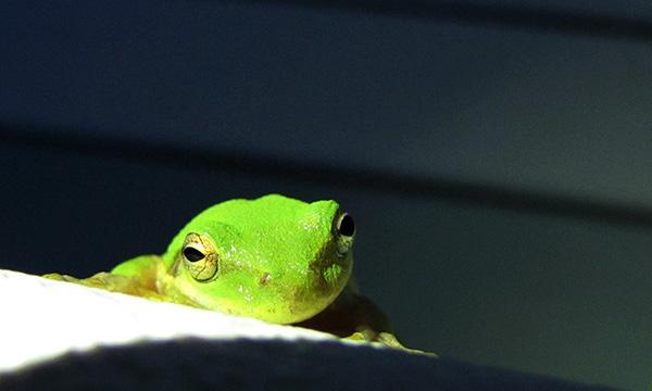 Green Tree Frog Aug 12