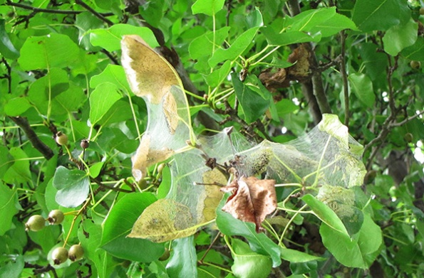 Pear Leaves August