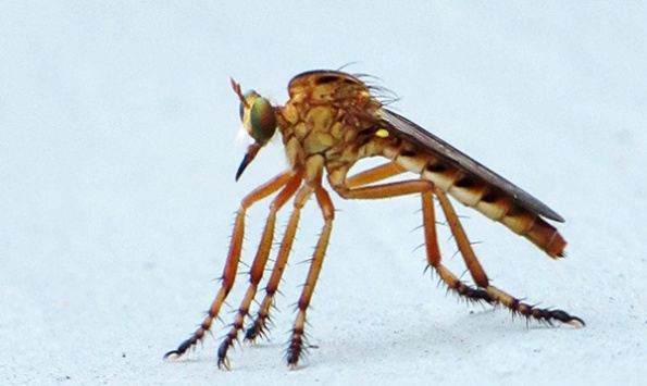 Robber Fly August 12
