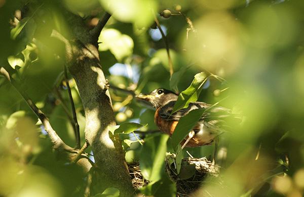 Robin August 4