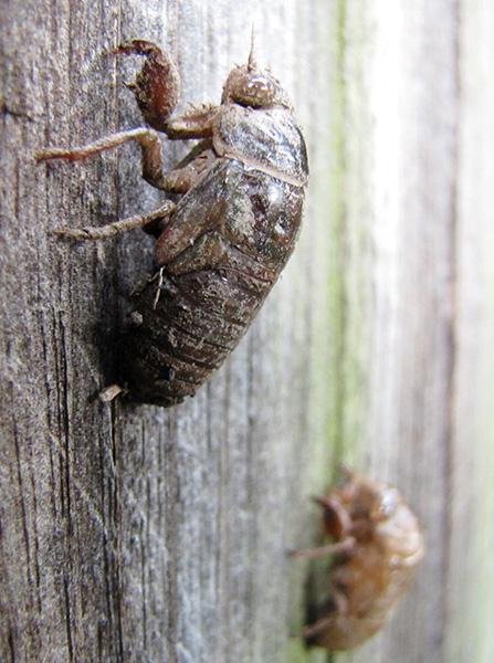 Cicada August 21