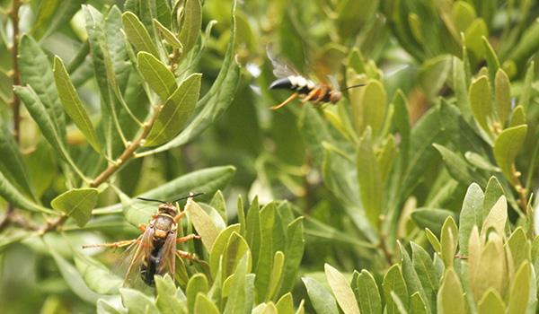 Cicada Killer August 15