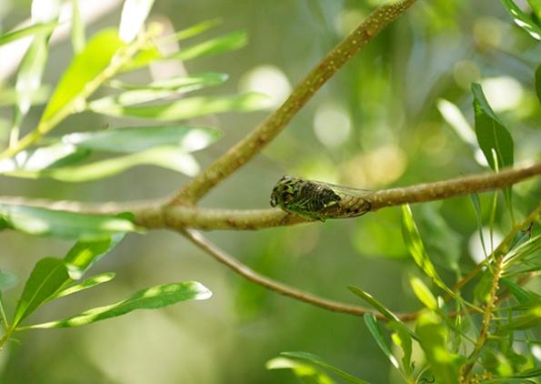 Cicada Sept 2