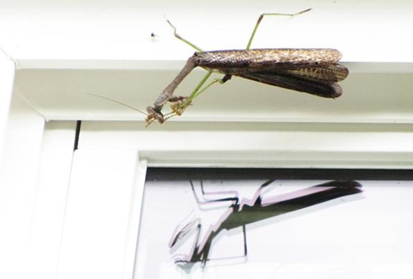 Mantis Sept 26