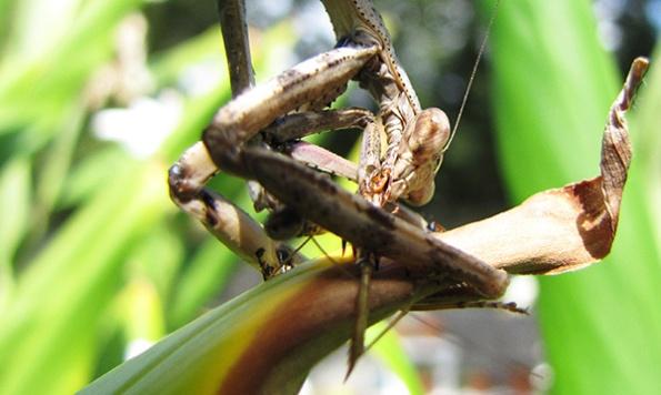 Mantis Sept 27