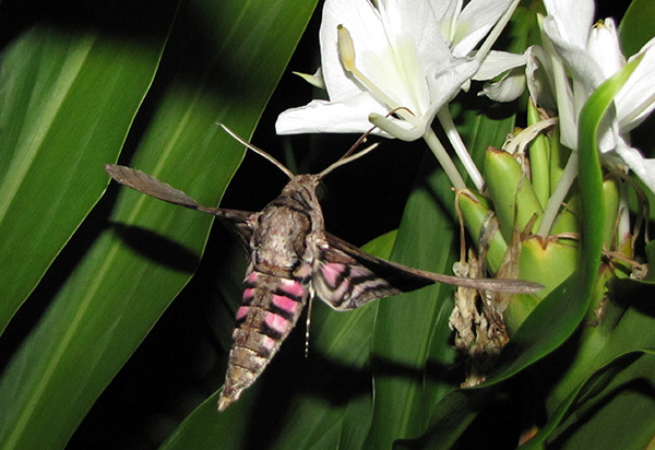 Pink Spotted Hawkmoth Sept 22