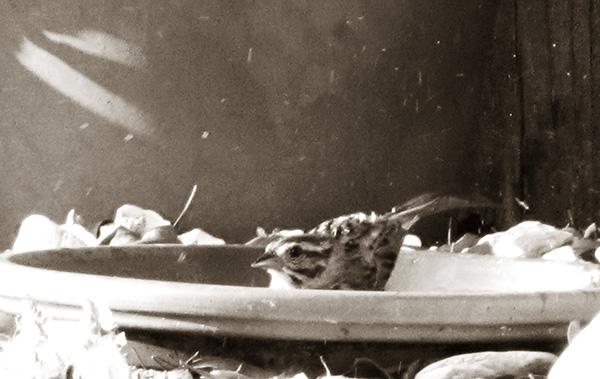 Sparrow August 12