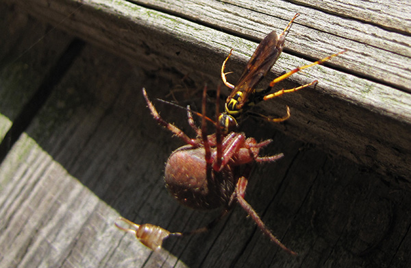 Wasp and Spider Sept 12