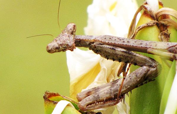 Mantis Sept 30