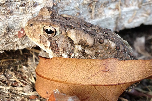 Toad Sept 1