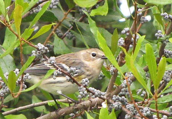 Warbler October 23