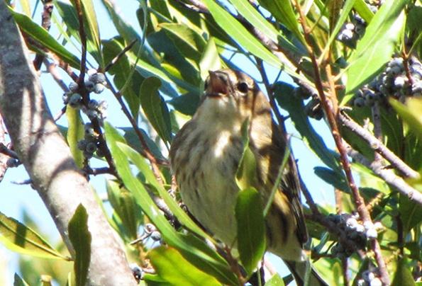 Warbler October 24
