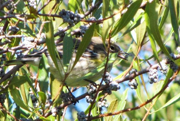 Warbler October 26