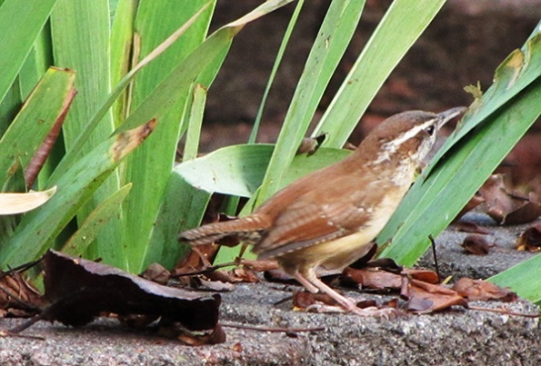 Carolina Wren Jan 15