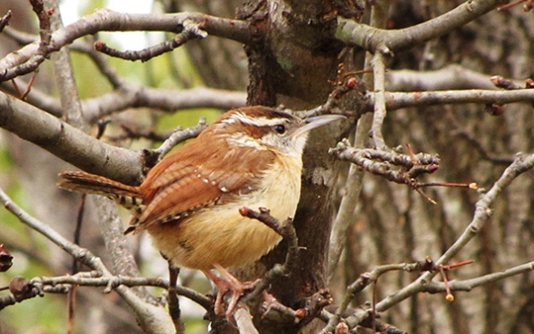 Carolina Wren Jan 16