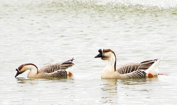 Geese Jan 10