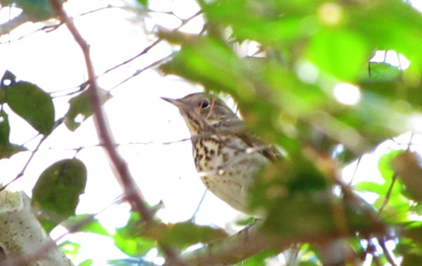Hermit Thrush January 13