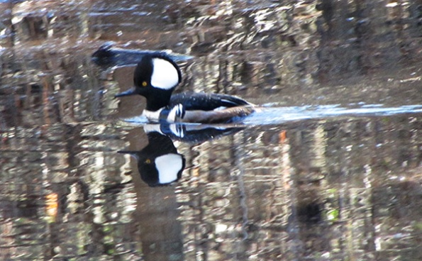 Hooded Merganser Jan 13