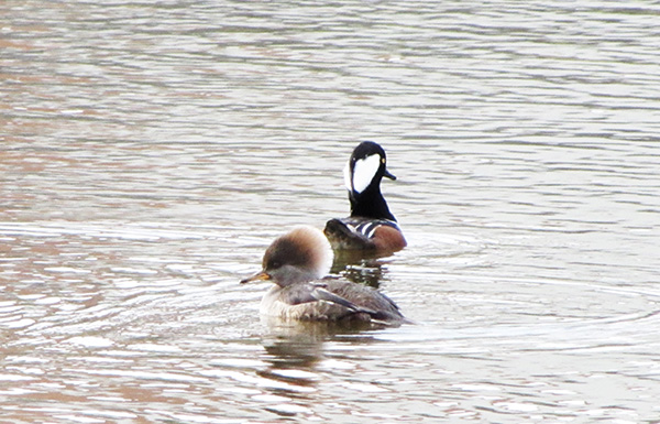 Hooded Merganser Jan 5