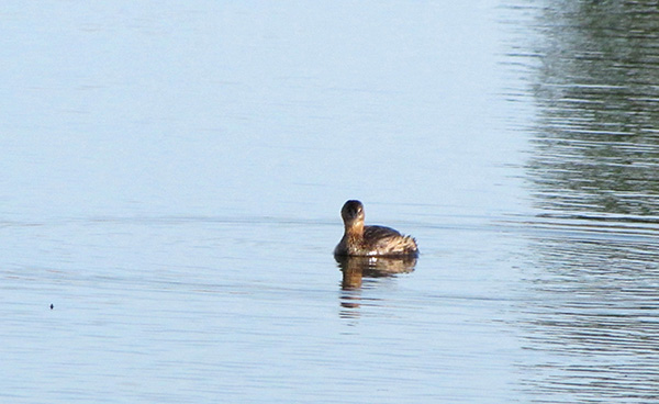 Pied Billed Grebe Jan 5