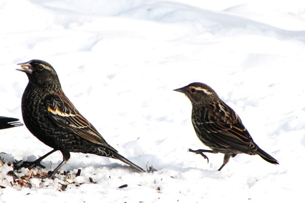 Red Winged Blackbird Jan 23