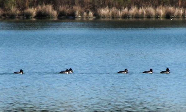 Ring necked Duck Jan 8