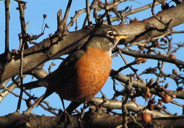 Robin Jan 4