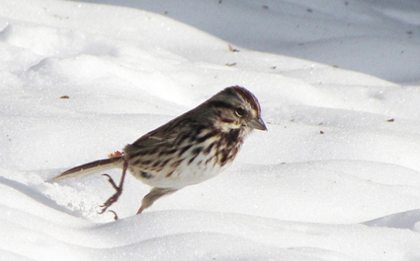 Song Sparrow Jan 23