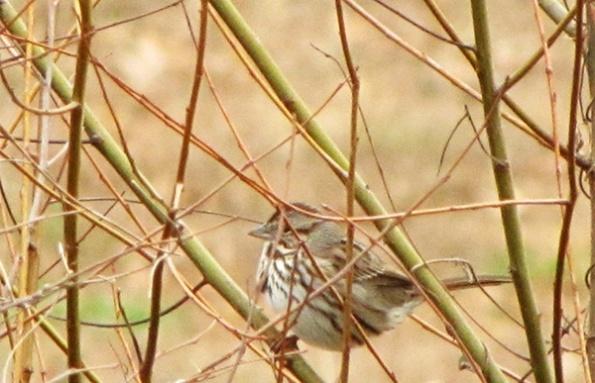 Sparrow Jan 10